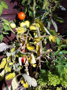 Tomato Plants Full of fruits